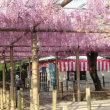 今朝(4月21日)の曼陀羅寺の藤は・・・