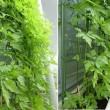 我が家の緑のカーテン ベランダのフウセンカズラ(風船葛)
