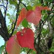 桜の部分的紅葉