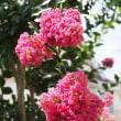 折れたサルスベリの花