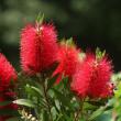 真っ赤なブラシノキの花
