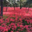 ココロが幸せ   赤い絨毯のお花畑