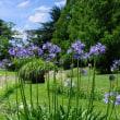 アガパンサスの咲く季節