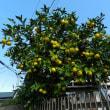 ご近所のお庭に生っている果物