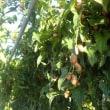安倍政権に注文する 「原発ゼロ」への転換を/自然薯のムカゴの栄養と効能。