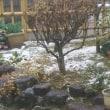 さくらに積雪。