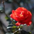 赤いバラ・Tchin-Tchin