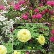 近所の庭は花盛り 道すがら楽しませて頂いています