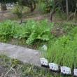 今日は朝から玉ねぎ苗の植え付けです。
