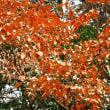 <ヤマコウバシ(山香ばし)> 「落ちない葉っぱ」受験生に人気