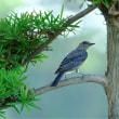 幼鳥・イソヒヨドリ2