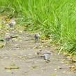 モエレの鳥たち 8/17 モエレでユリカモメは珍しいな・・・