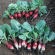ラディシュ・キスミー初収穫 播種色々