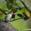 今日の野鳥・・・エゾビタキ・・・秋色の水場に。。