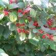 エノキの木のぶらんこ
