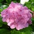 手水の紫陽花