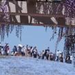 日立海浜公園のネモフィラ