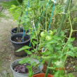 ただいま鉢植えのトマト生育中
