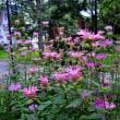 岩岳風蝶花