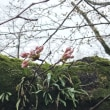 別所沼の桜