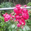 一気に咲きました。 ツルバラのルージュ ピエール ロンサール