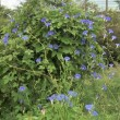 Heavenly Blue(西洋アサガオ)