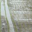 梅雨の田んぼ