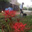 赤米アートと彼岸花