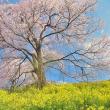 「春色の丘」 二本松市 合戦場のしだれ桜付近にて撮影! 桜と菜の花