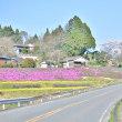 途中の芝桜と桜