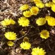 寒さに耐えて咲く福寿草