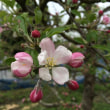 りんごの花が満開になります!