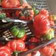 イタリア種チコリ2種定植、フダンソウなど播種