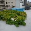 屋上菜園100 (H29.9.1~)