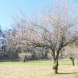 春の武蔵嵐山・・・中世の城郭・・・菅谷館跡・・・梅の花に…ジョウビタキちゃん