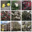 千葉の事務所に行く途中で桜や木瓜の花を見ました。春になってきています。