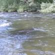 小国川は釣れています!