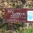 箱根湿性花園のエゾノリュウキンカ