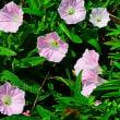 『季節の花』 昼顔