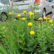 この花は「黄金矢車草」と言います