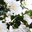 散る山茶花