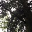 板取の月窓杉を見てきました