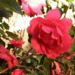 赤い山茶花開花