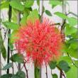 赤い丸い花