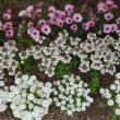 沢山の花が楽しめた、あしかがフラワーパーク