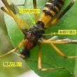 正体不明の昆虫、ハチ? アブ?