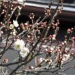 白梅が咲き始めました (2018/01/16)
