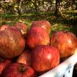 今月のりんご(2017年12月)収穫第三弾