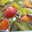 柿の季節ですが