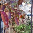 我が家の小さな紅葉と小鳥のお客様